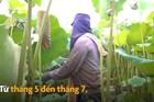 Thu hơn trăm triệu mỗi vụ nhờ trồng sen lấy hạt