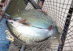 Thuần dưỡng loài cá quý hiếm trên sông Đà, muốn ăn ngon phải chờ vài năm