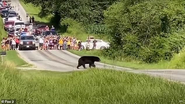 Chú gấu đi bộ khắp nước Mỹ tìm bạn tình trở thành ngôi sao mạng xã hội