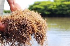 Hấp dẫn loại cây chỉ cần cắm xuống nước mặn, dân thu tiền triệu mỗi ngày