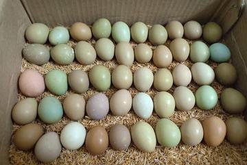 Bất ngờ loại trứng xanh đỏ khác lạ, giá đắt gấp 15 lần trứng gà