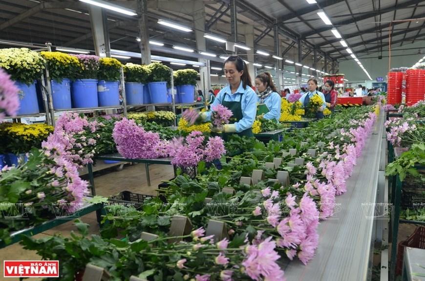 da lat,flower export,Vietnam in photos