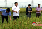 VN develops new rice variety for floodand drought-proneareas