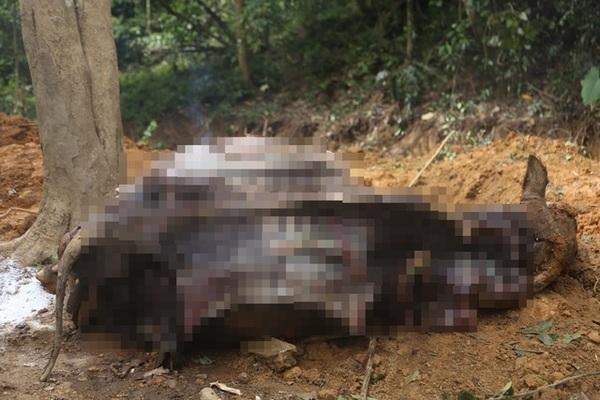 Đàn trâu trăm triệu bỗng dưng lăn đùng ra chết ở Hà Nội