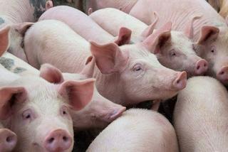 Thịt lợn nạc chuẩn Mỹ, giá gốc 24.000 đồng/kg