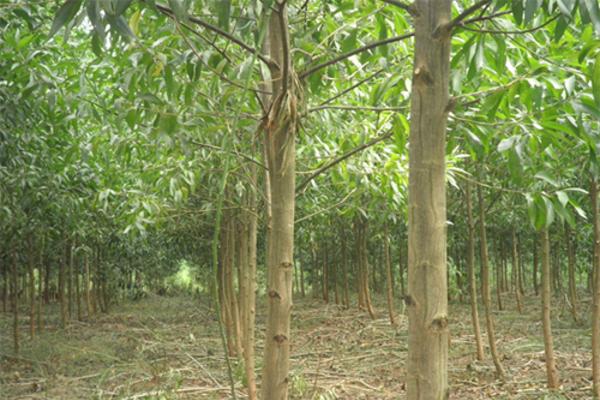 Trồng rừng theo chứng chỉ quốc tế FSC giúp người dân giảm nghèo bền vững