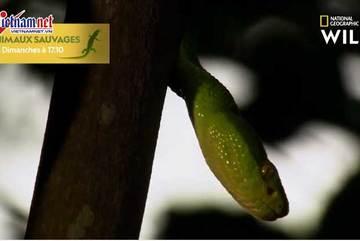 Rắn lục đuôi đỏ nuốt chửng chuột khi đang treo lơ lửng trên cây