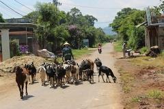 Nông dân Tây Nguyên vươn lên thoát nghèo nhờ nuôi dê Bách Thảo và dê Boer