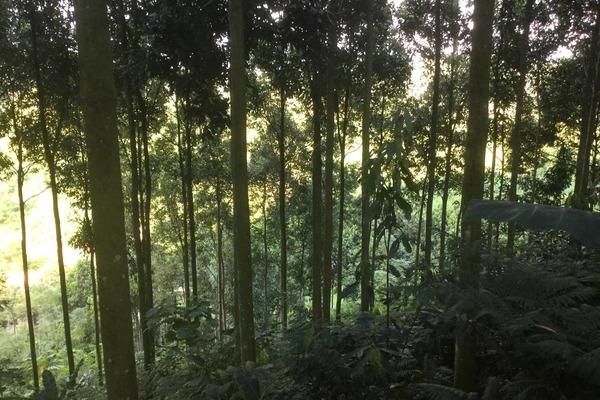 Nông dân Văn Yên thi đua làm giàu từ cây quế