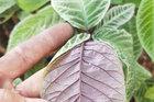 Loại cây lạ, lá có đầy răng cưa, sẫm mịn như nhung, bán đắt tiền