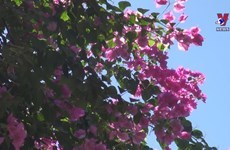 Bougain villea blossoms brighten up Nha Trang city