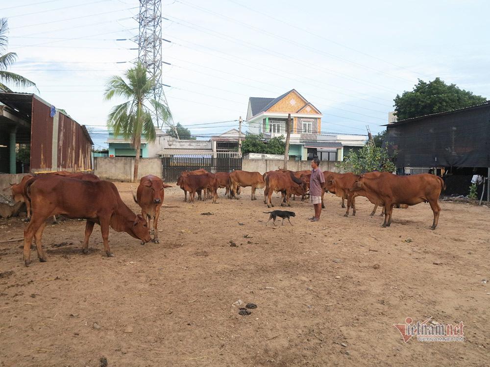 Ông Ngạn bên đàn bò đang trong giai đoạn nhân giống.