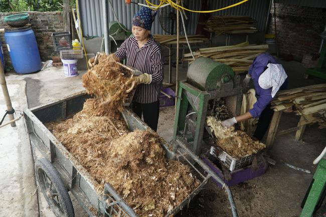 Thân cây chuối tưởng chỉ lợn ăn hoặc bỏ thối nay bán thu triệu USD