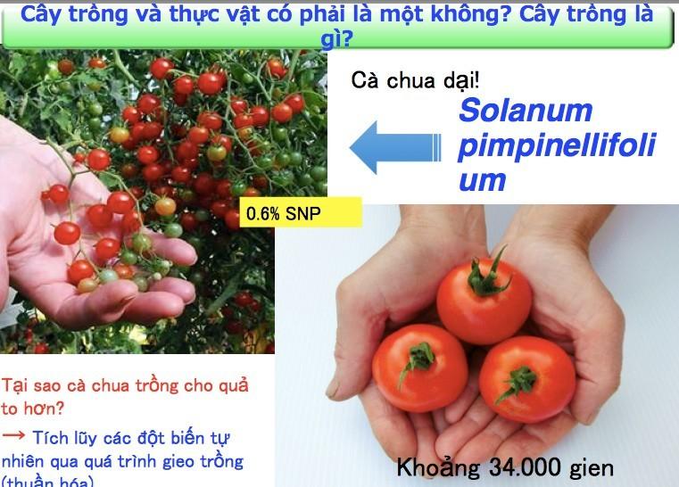 Trồng loại cà chua ăn vào giảm căng thẳng và sợ hãi
