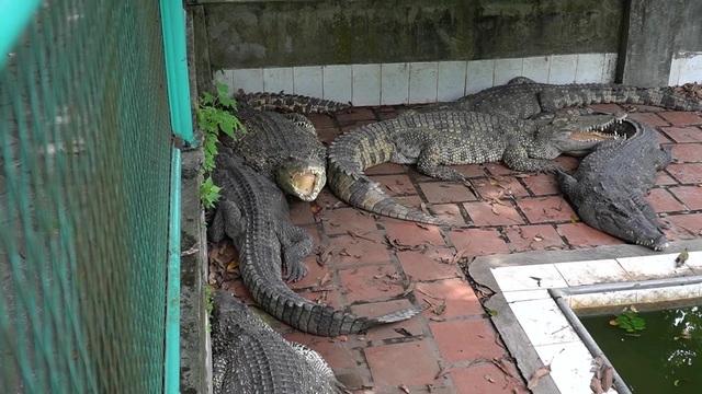Vua cá sấu đất Bắc nguy khó, mỗi tháng lỗ 200 triệu