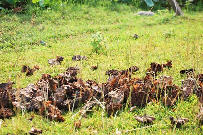 Cách Hà Nội 50km, dân bỏ làm ăn xa về làng kiếm tiền triệu nhờ 1 loài hoa