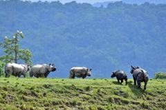Assam flooding: Several rare rhinos die in India's Kaziranga park