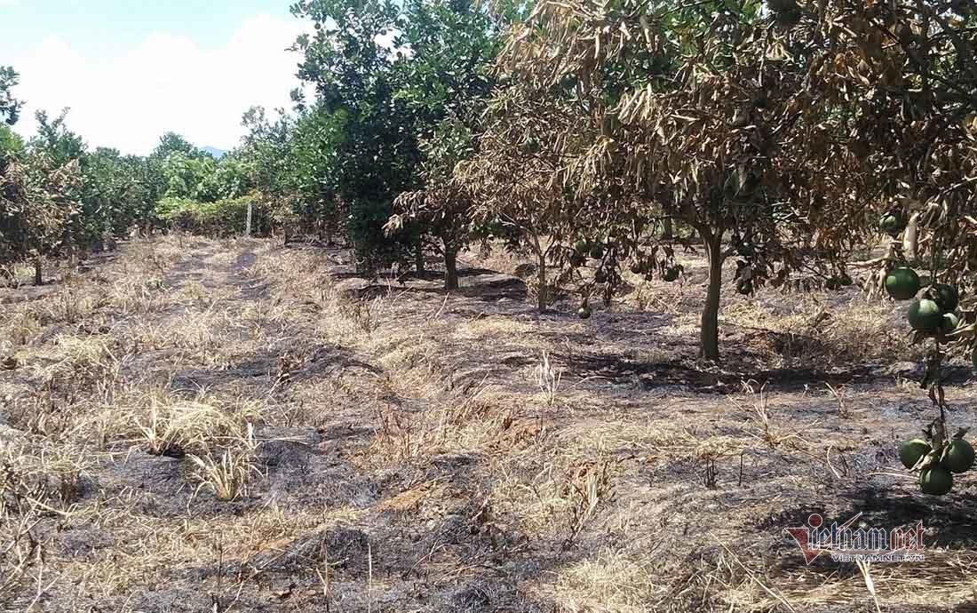 Hai vợ chồng khóc ròng dập lửa vườn cam 150 gốc bị kẻ xấu phóng hỏa