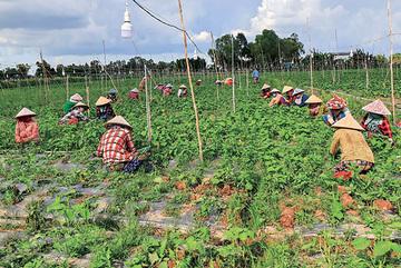 Loại rau đầy chợ Việt Nam, chỉ 1 nghìn đồng/mớ mà ở Hàn phải mua từng lá