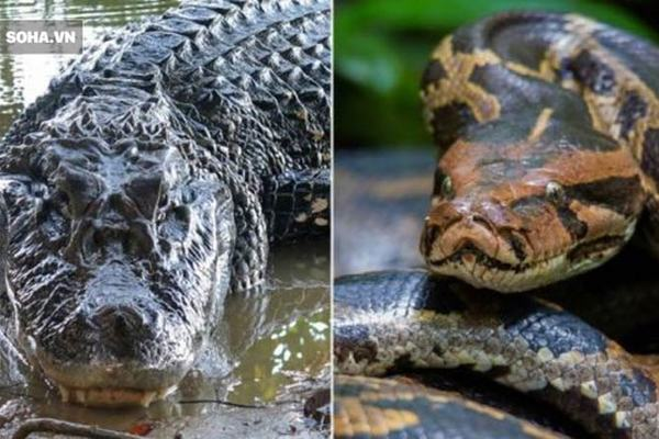 Trăn khổng lồ bất lực để cá sấu cắn thủng bụng