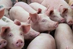 3 triệu đồng/con lợn sữa: Có tiền, muốn mua... 'chờ đó'
