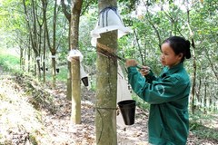 VN rubber companies report lower earnings amid falling rubber prices