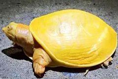 Phát hiện rùa vàng cực hiếm, lạ ở Ấn Độ
