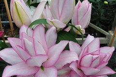 Hoa ly Đà Lạt bị 'gắn mác' hoa nhập khẩu, rao bán đắt gấp 4-5 lần