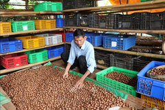 Retired soldier gets rich from macadamia trees
