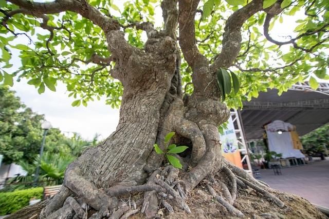 Chiêm ngưỡng cây lộc vừng 5 thân ngũ phúc khiến đại gia 'phát sốt'