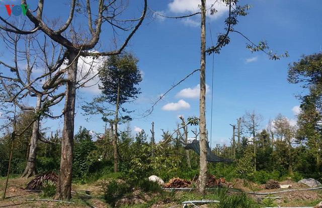 Cây sầu riêng chết hàng loạt, nhà vườn Tiền Giang ồ ạt phá bỏ vườn cây