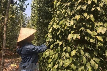 Pepper export turnover hits $385 million by mid-July