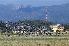 Thousands of Asian openbills forage for food in central Vietnam