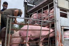 Heo thịt Thái Lan từng không cạnh tranh được với heo Việt, phải bán lỗ vốn