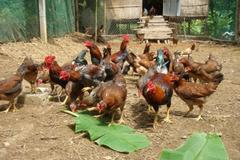 Bà con người Khmer khấm khá nhờ nuôi gà thả vườn
