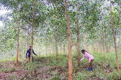 Bà con Thạch An sống ổn nhờ trồng rừng keo lai nuôi cấy mô
