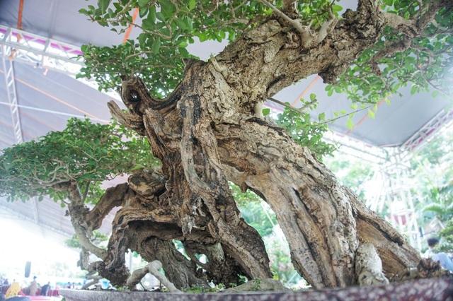 Mãn nhãn với cây găng tu hú, gỗ lũa tự thân hàng trăm năm tuổi