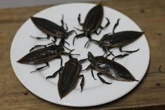 Nuôi loài nhìn giống gián, mùi như bọ xít mà giá tới 5 triệu đồng/kg