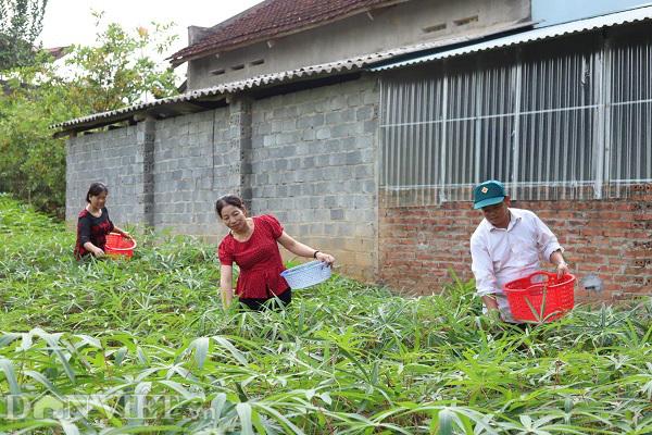Rau 'nhà nghèo' một thời ăn chống đói, nay là đặc sản, thu cả triệu đồng mỗi ngày