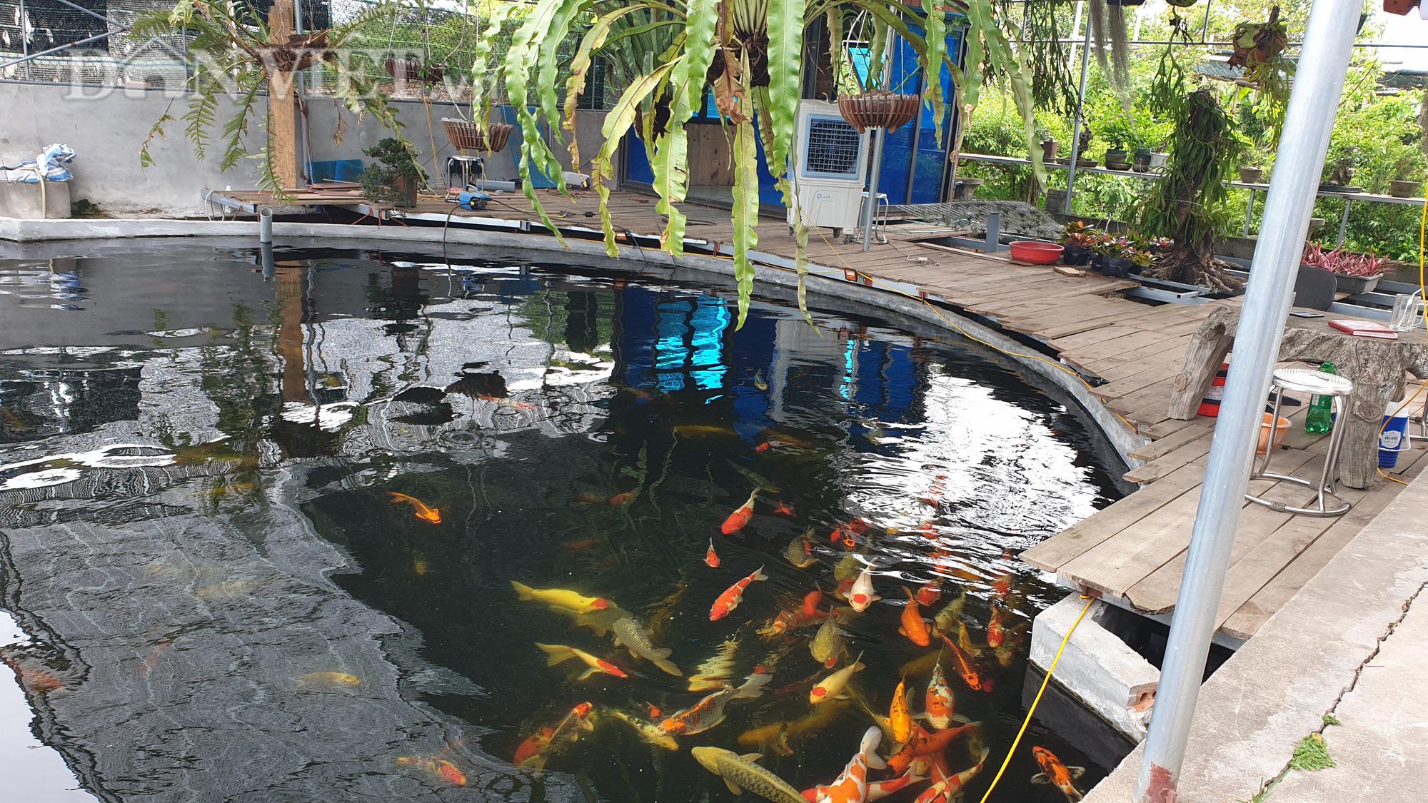 Hoa mắt ngắm đàn cá Koi tiền tỷ, con đắt nhất có giá vài nghìn đô