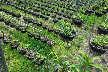 'Đột nhập' vườn lan rừng quý như kho báu của 'lão nông' ở Đông La
