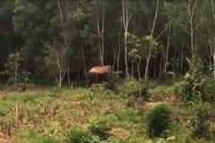 Voi rừng đuổi, công nhân chạy thục mạng