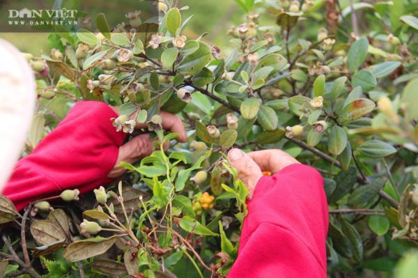 Hàng trăm người Hà Tĩnh kiếm tiền triệu mỗi ngày nhờ lên rừng hái loại quả 'thần dược' bé tí