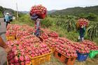Đối mặt tình thế chưa từng có, giá trái cây đồng loạt lao dốc