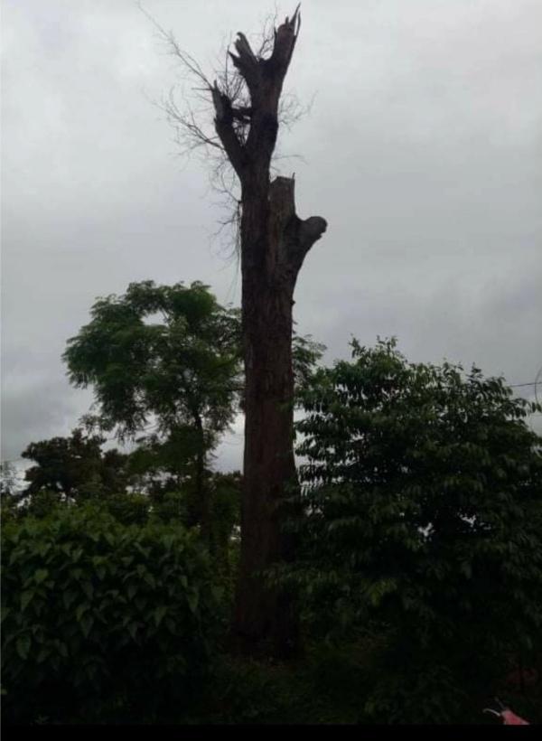 Cây gõ mật trăm tuổi ở Đắk Lắk 'bốc hơi' trong mùa Covid-19