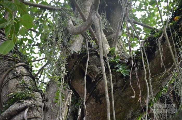 Về quê của lan đột biến: Từ 'tầm gửi' trên cây đa thành ra bạc tỷ