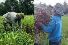Mô hình trồng sả lấy tinh dầu: Điểm tựa giúp nông dân Quảng Bình thoát nghèo