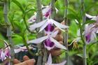 Vườn lan quý hiếm được chăm sóc, bảo vệ hơn cả kho báu