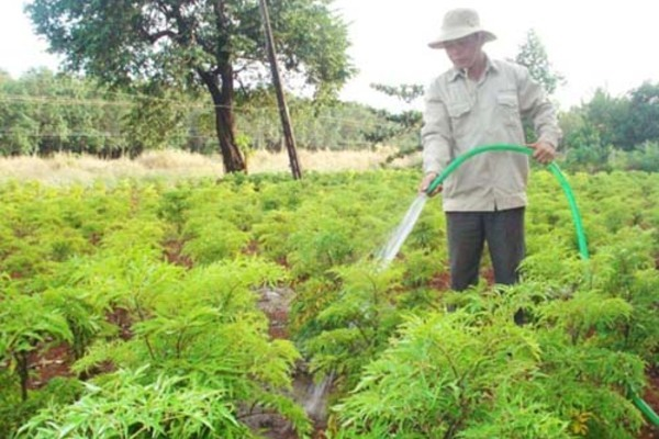 Chuyển đổi đất nông nghiệp kém hiệu quả sang trồng cây dược liệu