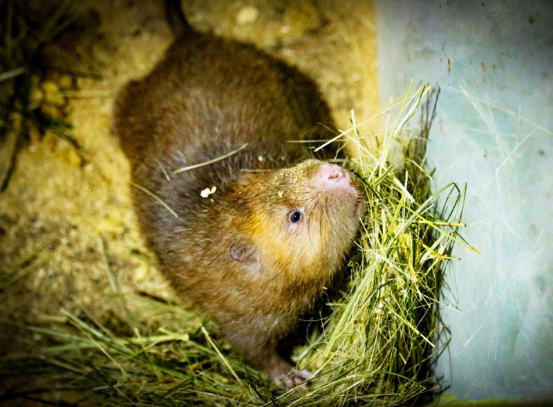 Nuôi loài chuột nghiện ăn tre, nứa, một nông dân phát tài